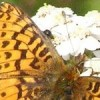 http://www.fws.gov/pollinators/images/Challenge/larger/Fritillary%20and%20Yarrow-TetlinNWR.jpg